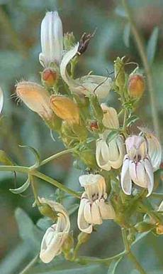 Keckiella breviflora, Yawning Penstemon, is so pale, with purple lines, and ranges from the valley to the mountains of California.