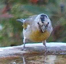 A Lawrence's Goldfinch at the birdbath. - grid24_6