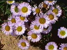 Erigeron Wayne Roderick works very well in a container or in a small garden. - grid24_6
