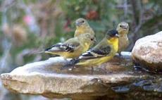 Lesser Goldfinches having a board meeting at the water cooler (bird bath). Every wildlife garden needs one. - grid24_6