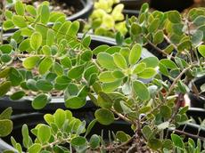 One of the forms of Arctostaphylos rudis, Shagbark manzanita is a groundcover, BUT it is SO slow it will cost a fortune to grow.