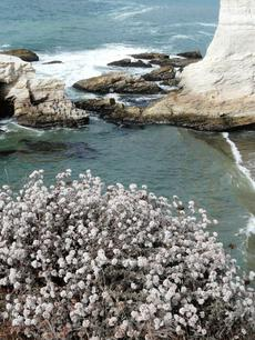 Eriogonum parvifolium, Cliff Buckwheat overlooking Shell Beach. - grid24_6