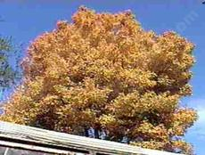 Populus trichocarpa,  Black Cottonwood fall color