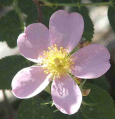 Rosa pinetorum Whiskey Rose