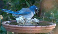 scrub jay at bird bath, as looking at self - grid24_6