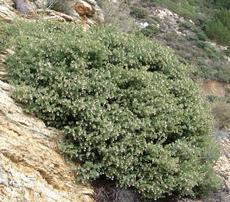 Arctostaphylos luciana in the wild up on Cuesta ridge, north of San Luis Obispo.