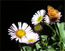Erigeron Wayne Roderick Daisy with butterfly. This plant does well in containers. A pot with a butterfly. - grid24_6