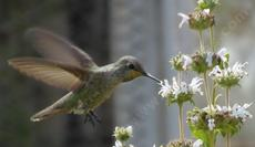 An Anna's Hummingbird working Salvia mellifera, Black sage - grid24_6