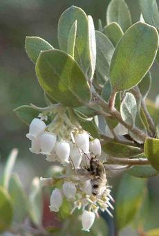 Arctostaphylos silvicola, Ghostly Manzanita with a beefly. This manzanita is native north of Santa Cruz. - grid24_6