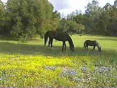 A horse and pony in the field in about 1990. - grid24_6