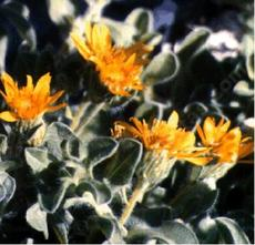 Chrysopsis villosa echioides Hairy Golden-aster