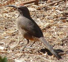 The anything but graceful California thrasher. BUT, he can sing! He needs a weed free garden with mulch. - grid24_6