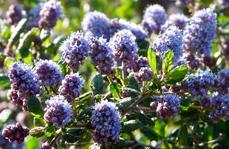 Ceanothus Celestial Blue makes an interesting flower show.