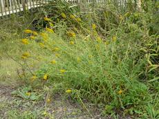 Solidago spathulata, Coast Golden Rod - grid24_6