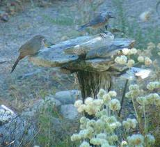 A Western bluebird, Lesser goldfinches and Towhee at the birdbath. You can tell a lot about a bird by watching their behavior at the bath. This bird bath is a rock on a post. - grid24_6