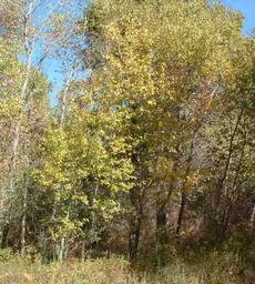 A ticket of Black Cottonwood, Populus trichocarpa - grid24_6