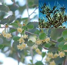 A closeup of the flowers of Cercocarpus betuloides, Mountain Mahogany, with an inset of the plant in fruit.  - grid24_6