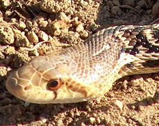 Gopher snake, Pituophis catenifer head - grid24_6