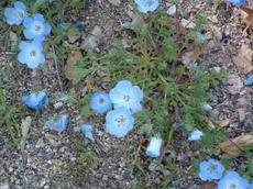 Nemophila menziesii, Baby Blue Eyes, can be  massively inhibited by alien species of Erodium, especially Erodium botrys, in the central coast ranges of California.