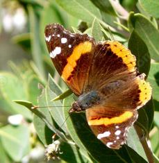 Red Admiral Butterfly sunning  on Arctostaphylos pungens. - grid24_6