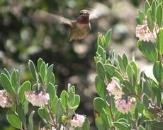 A male Anna's Hummingbird working the flowers of Mexican manzanita. - grid24_6
