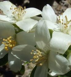 Philadelphus lewisii, Wild Mock Orange,  which is shaped and pruned like a lilac, is shown here in a closeup in our Santa Margarita garden. In inland gardens it needs some shade. - grid24_6