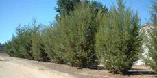 Cupressus forbesii, Tecate Cypress as a  hedge row. No water and the little trees look decent. Reports of 15 ft. in 3 years. - grid24_6