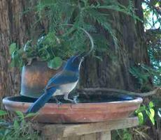 Scrub jay at the bird bath at King City - grid24_6