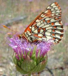 Variable Checkerspot on a Monardella - grid24_6