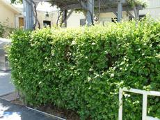 Island Mountain Mahogany is one of the best hedge plants we grow. You can have a 15 ft. hedge in a 3-4 ft. wide space.