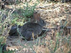 A little picture of a little cottontail rabbit. - grid24_6