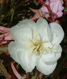 Oenothera caespitosa ssp. marginata, Evening Primrose, possesses the most wonderful fragrance, when the flowers emerge in the dusk of the evening.