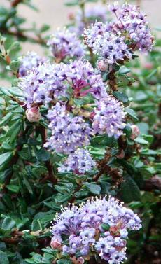 Ceanothus maritimus grows on coastal bluffs and covers the ground with blue in spring. - grid24_6