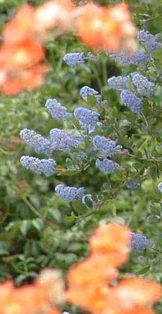 Desert Mallow and Mt. Lilac, Ceanothus, work well in a California  garden - grid24_6