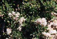 An old picture of ceanothus rodericki