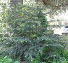 A young specimen of Abies bracteata, Santa Lucia Fir, in our Santa Margarita garden in the spring.