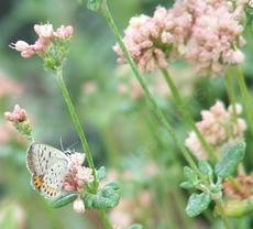 Eriogonum parvifolium, Cliff Buckwheat with Acmom Blue Butterfly. - grid24_6