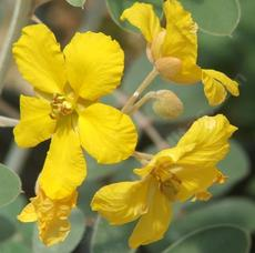 Senna covesii, Coues' Cassia flowers