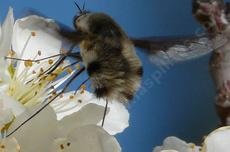 Beefly, Poecilanthrax working  a Plum Flower - grid24_6