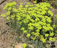 Eriogonum umbellatum, Sulfur Flower makes a small ground cover at the Santa Margarita Nursery - grid24_6