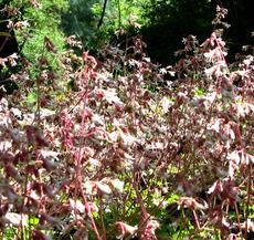 Heuchera hirsutissima, Idyllwild Rock Flower, is here shown massed together, in its natural mountain habitat.  - grid24_6