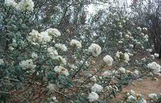 Ceanothus crassifolius in flower in the wild south of Corona