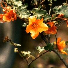 "Fremontodendron Hybrid, Flannel Bush, showing the bright orange ""flowers""."