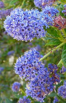 Doesn't Ceanothus Concha look like a frozen dessert? - grid24_6