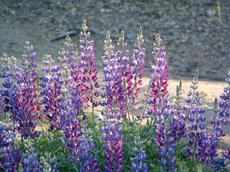 Silver Bush Lupine, Lupinus albifrons
