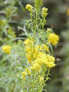 Solidago spathulata, Coast Golden Rod flowers