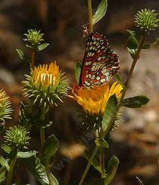 Grindelia camporum, Giant Gum Plant, with its resinous personality, is still loved by butterflies.