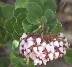 In a cool winter Island manzanita, Arctostaphylos insularis  flowers are pink, warm winters, they are white.