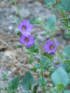 Mirabilis californica, Wishbone Bush flowers