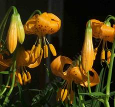 Lilium wigginsii, Wiggins Lily, is now considered a subspecies of Lilium pardalinum, and has been very easy to grow.